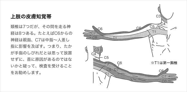 上肢の皮膚知覚帯